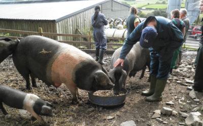 Pig Keeping?