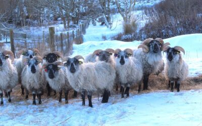 Orkney Boreray Sheep becomes Scotland's 2nd Slow Food Presidium